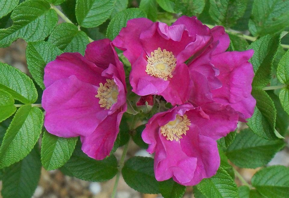 Róża pomarszczona służy do produkcji soku mającego najwyższą zawartość witaminy C